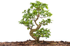 New young tree isolated against white Royalty Free Stock Photography