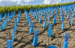 Young vineyard champagne. New and young vineyard in the champagne district Marne with protection against damage by animals Royalty Free Stock Photography