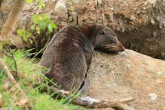New Zealand fur seal resting on rocks royalty free stock photos