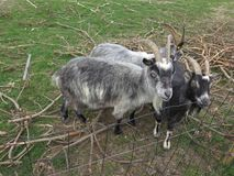 Arapawa Goats looking at camera in Danish farmyard. The New Zealand Arapawa goat breed can be traced back to the two goats left on Arapawa Island, as documented Royalty Free Stock Photos