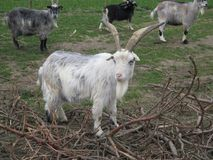 Arapawa Goats looking at camera in Danish farmyard. The New Zealand Arapawa goat breed can be traced back to the two goats left on Arapawa Island, as documented Stock Image
