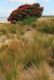 New Zealand beach in summer. Dune grasses and blossoming pohutukawa tree stock image