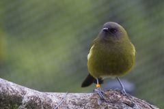 Bellbird or Korimako royalty free stock images