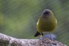 Bellbird or Korimako