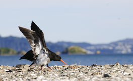 New Zealand bird. Eaurasian oytercatcher on the shore in New Zealand having just landed with wings outstretched Stock Photo