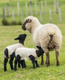 New Zealand Black Lambs. New Zealand mother sheep and her twin black lambs with their coats on royalty free stock photos