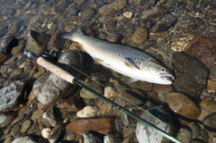 New Zealand Brown Trout. Caught by flyfishing in southland, New Zealand Royalty Free Stock Images