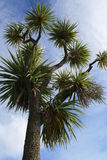 New Zealand Cabbage Tree. A typical tree found in the North Island especially stock photography