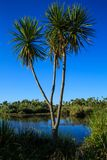 New Zealand Cabbage Tree Growing In Wetland. A New Zealand Cabbage Tree tī kōuka in Maori growing in its natural habitat. This plant is also grown in the stock photo