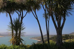 New Zealand Cabbage Trees with Opononi, Hokianga Harbour in the background Royalty Free Stock Photos