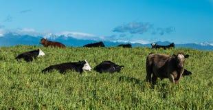 New Zealand Cattle Stock Image