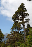 New Zealand Cedar. A New Zealand Cedar dominates a patch of alpine native forest in Westland. Libocedrus bidwillii are variously called Pāhautea, Kaikawaka or Stock Photo