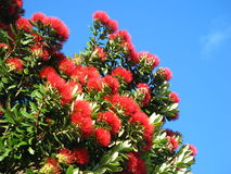 New Zealand Christmas tree. This is a pohutukawa, found along the coastline of the North Island in New Zealand Stock Photography