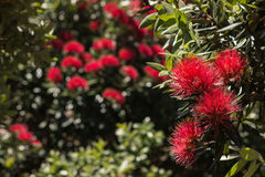 New Zealand Christmas tree flowers Royalty Free Stock Photos