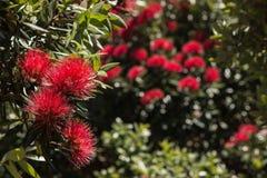 New Zealand Christmas tree Royalty Free Stock Photo