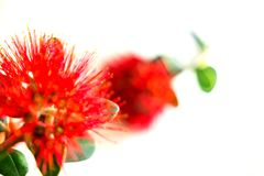 New Zealand Christmas tree or pohutukawa bright red flower. Abstract nature image defocused red flower of New Zealand Christmas tree or pohutukawa closeup on Royalty Free Stock Photography