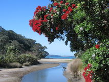 New Zealand coastal pohutukawa. This photo of Long Bay beach, Auckland, was taken around December when pohutukawas are in full bloom in New Zealand Royalty Free Stock Photo