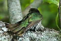 New Zealand Cuckoo Stock Photo