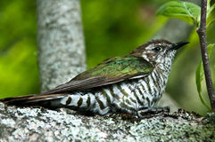 New Zealand Cuckoo Royalty Free Stock Image
