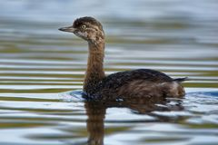 New Zealand dabchick - Poliocephalus rufopectus - weweia in maori language, New Zealand grebe endemic to New Zealand