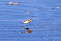 New Zealand Dotterel Royalty Free Stock Photo