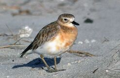 New Zealand Dotterel. Royalty Free Stock Photography