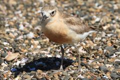A New Zealand dotterel, a critically endangered bird. Seen here on a stony beach, the northern New Zealand dotterel Charadrius obscurus aquilonius, also known as stock photography