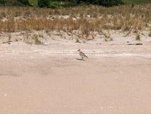 A new zealand dotterel feeding on a coromandel peninsula beach. Of the north island royalty free stock photo
