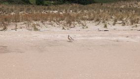 New Zealand dotterel feeding. A New Zealand dotterel feeding on a Coromandel peninsula beach of the north island stock video