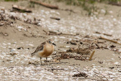 New Zealand dotterel on sandy beach Stock Images
