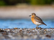 New Zealand dotterel / tuturiwhatu. NZ dotterels are endangered shorebirds and usually found on sandy beaches and sandspits. This was taken at Omana regional Stock Image