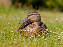 New zealand duck. Frontal close up of duck in field of daisies Stock Images