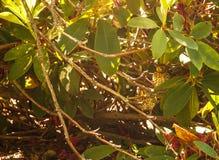 New Zealand Endemic Bird: Fernbird Chicks hiding in shrub, Megalurus punctatus an insectivorous bird.  Stock Images