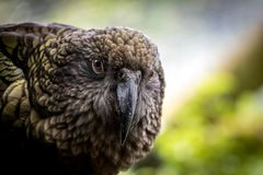 Kea. New Zealand endemic and critically endangered native green parrot, the south island Kea which is in recovery at eco and bird scientific sanctuaries around Royalty Free Stock Photo