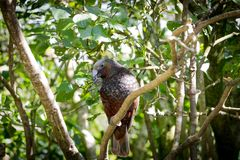 Kaka, New Zealand Brown Parrot. New Zealand endemic and endangered species of brown parrot, the Kaka. Sits in tree eating nuts at wellington nz eco sanctuary in stock photography