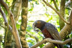 Kaka Eating In Afternoon Sun. New Zealand endemic and endangered species of brown parrot, the Kaka. Sits in tree eating nuts at wellington nz eco sanctuary in royalty free stock photos