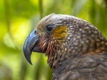 New Zealand endemic Kaka parrot. (Nestor meridionalis) in rain forest of Kapiti island Stock Photo