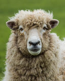 New Zealand Ewe Sheep Royalty Free Stock Images