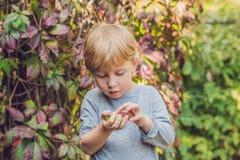 New Zealand exotic food. Berry nergi, or small kiwi. Child picking Green baby kiwi fruit actinidia arguta stock photos