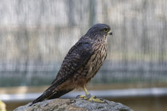 New Zealand falcon stock image