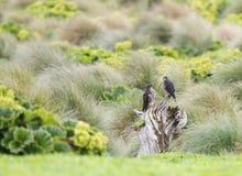 New Zealand Falcon, Falco novaeseelandiae. Pair off New Zealand Falcons (Falco novaeseelandiae) on Enderby Island, part of the Auckland Islands, New Zealand stock photography