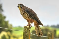 New Zealand falcon perching on a fence post Royalty Free Stock Image