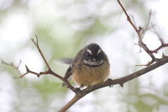 New Zealand Fantail / Piwakawaka Royalty Free Stock Images