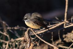 A New Zealand fantail, a small songbird stock photos
