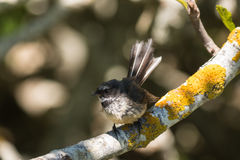 New Zealand fantail on tree branch Royalty Free Stock Photos