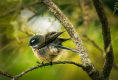 New Zealand Fantail. Young New Zealand fantail perched on a kowhai tree branch. The fantail use their long tail to perform acrobatic flying chasing after insects Stock Photo
