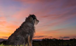 New Zealand Farm Dog Dawn. One New Zealand farm dog waiting to start work Royalty Free Stock Image
