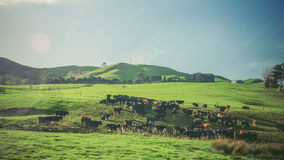 New Zealand: farm landscape with many cows Royalty Free Stock Image