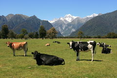 New Zealand Farm / Mt Cook Stock Images