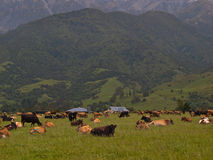New zealand farmland impression. With relaxing cows Stock Photography